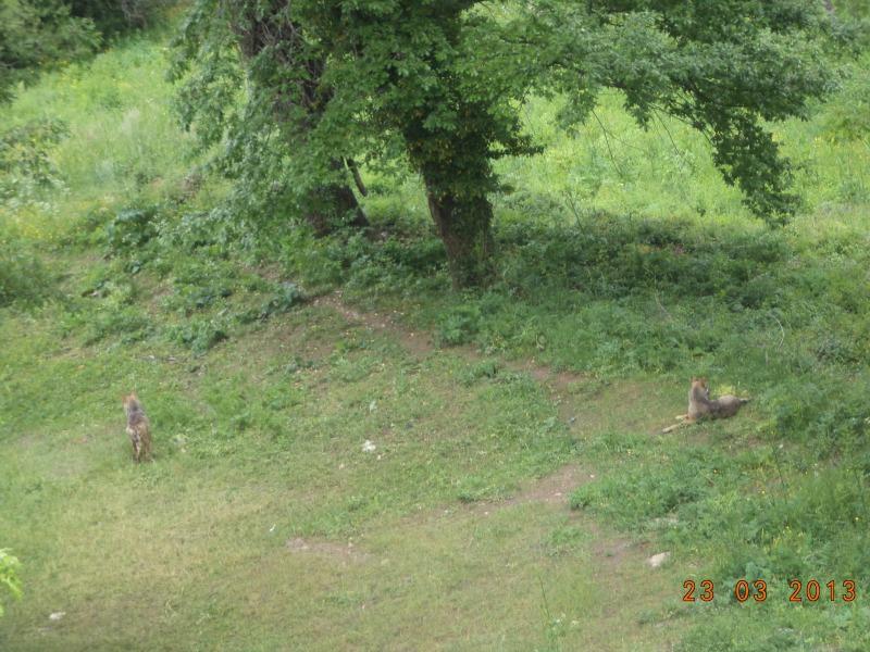 lupi al parco nazionale d abruzzo